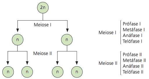 Meiose e suas divisões.