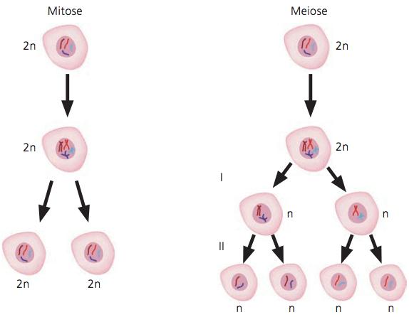Diferenças entre a mitose e a meiose.