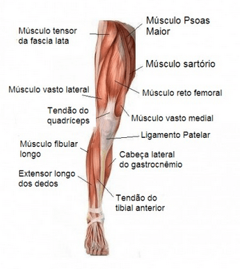 Músculo da Perna