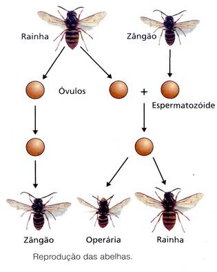 Partenogênese