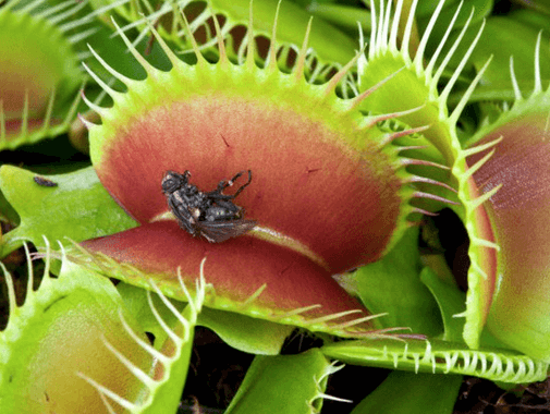 Planta Carnivora do gênero Dionaea
