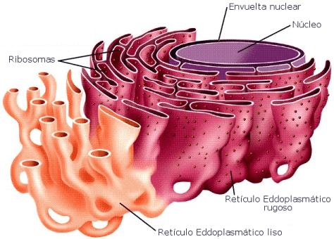 Citoplasma e suas organelas - biologia 2