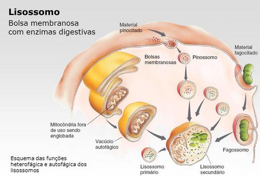Resultado de imagem para Lisossomos