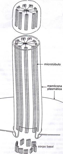 Esquema de cílios e flagelos
