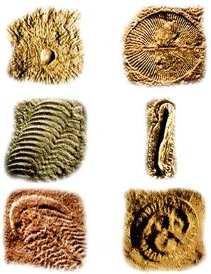 Fósseis da fauna de Ediacara