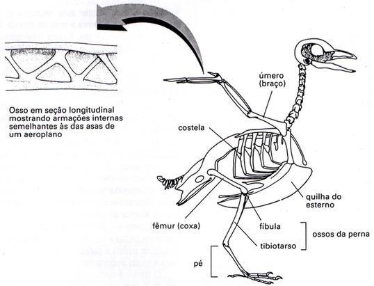 Os ossos que permitem às aves voar