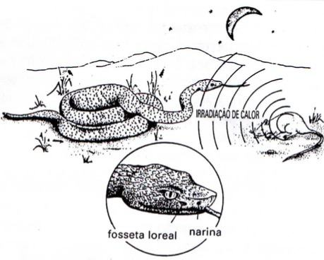 como as serpentes peçonhentas percebem suas presas