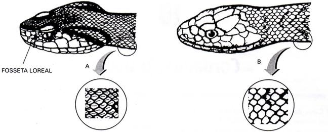 Diferença entre serpentes peçonhentas e não peçonhentas
