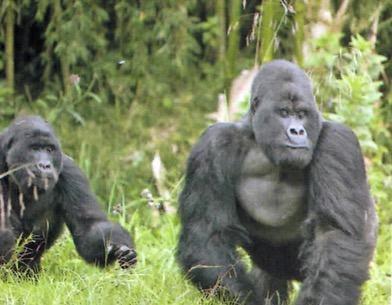 Gorilas das montanhas