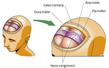 Figura ilustrando as meninges da medula espinhal.