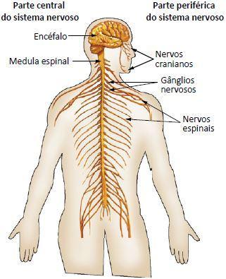 Figura detalhando os nervos do corpo humano.