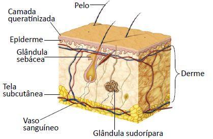 Representação da pele humana.