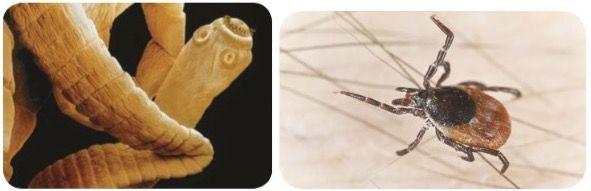Tipos de parasitas.