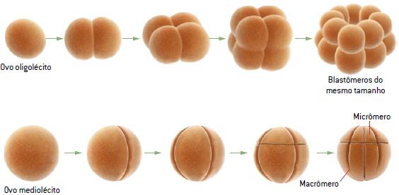 Fase holoblástica da segmentação.
