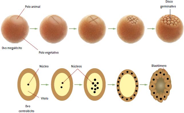 Fase meroblástica da segmentação.