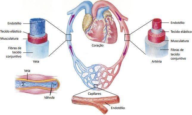 Os vasos sanguíneos.