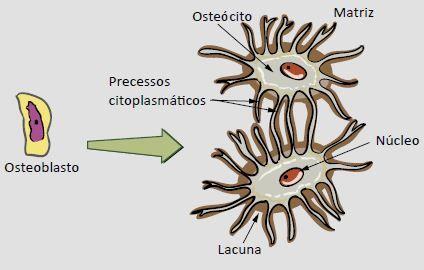 Células do tecido ósseo.