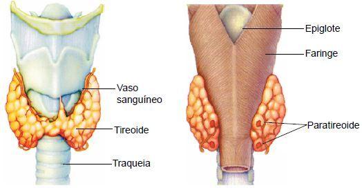 Glândulas tireoide e paratireoide.