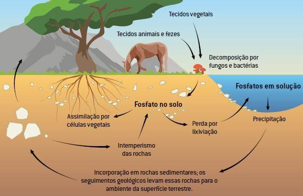 Etapas do ciclo do fósforo.