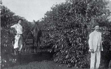 Plantação de café na República Velha.
