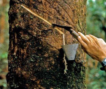 Latex sendo retirado do tronco da seringueira.