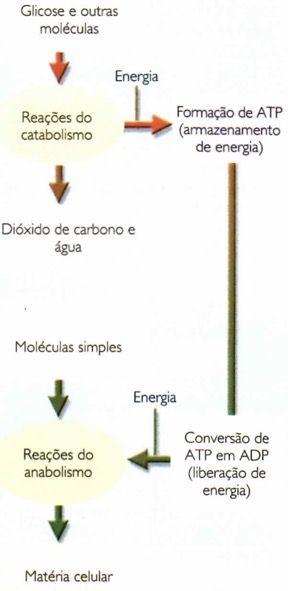 Metabolismo celular.