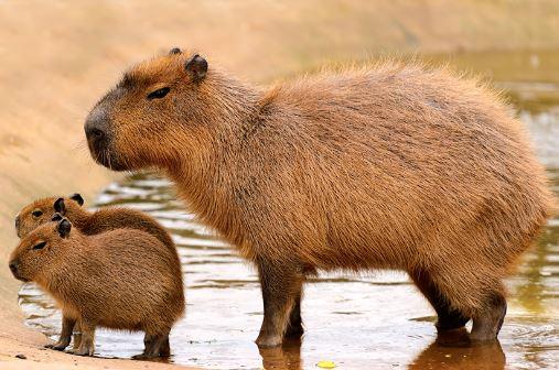 Imagem de uma capivara adulta e seus dois filhotes.
