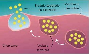 Como ocorre a exocitose.