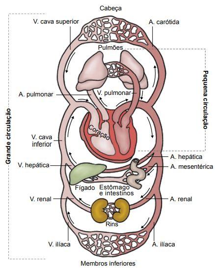 Representação esquemática do sistema cardiovascular, destacando a  dupla circulação.