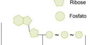 Molécula de ATP