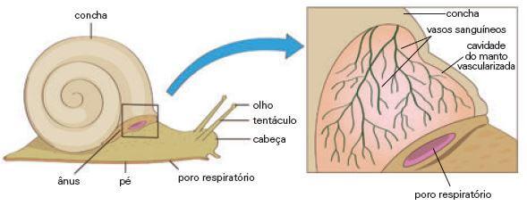 Respiração branquial em moluscos.