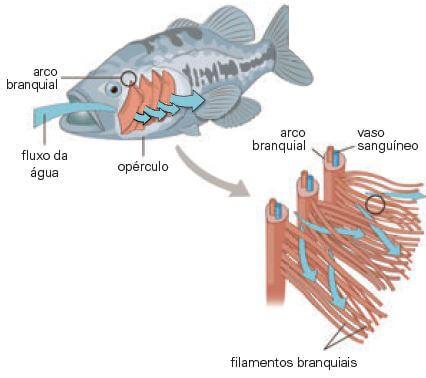 Respiração branquial em peixes.