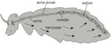 Circulação nos artrópodes.