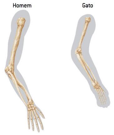 Anatomia comparada dos braços,