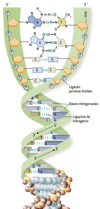 Estrutura da molécula de DNA.