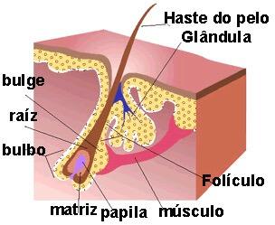 Estrutura do pelo