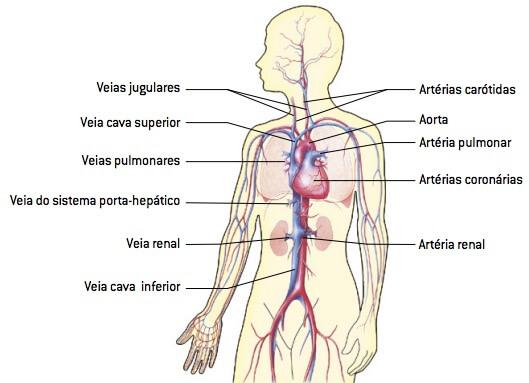 Sistema circulatório humano