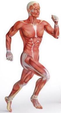 Sistema muscular.