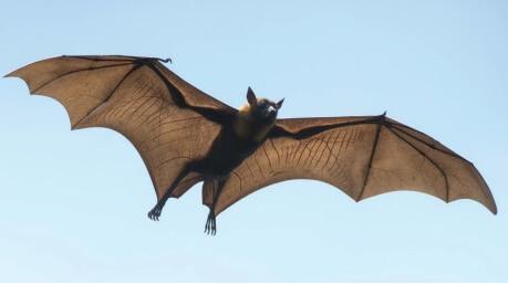 Morcego com asas abertas.