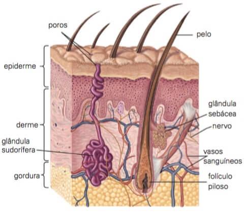 Imagem da pele humana especificando cada parte do sistema tegumentar.