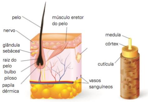 Anatomia do pelo.