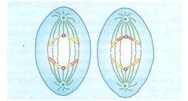Anáfase II na meiose