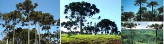 Bioma da Mata dos Pinhais