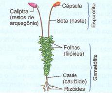 Briófita