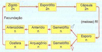 ciclo de vida de uma briófita