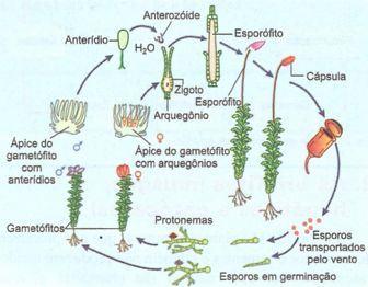 Ciclo reprodutor de uma briófita