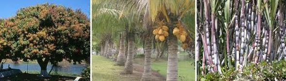 Mangueira, coqueiro e cana-de-açucar