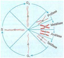 Ciclo da mitose