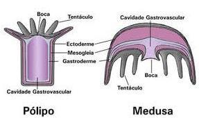 Forma medusa e forma pólipo dos cnidários