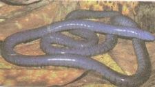Cobra-cega, anfíbio da classe Apoda